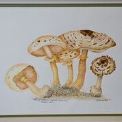 No. 23 Shaggy Parasol (Lepiota rachoides) Potteric Carr