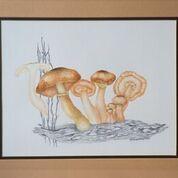 No. 19 Noney Fungus (Armillaria mellea)