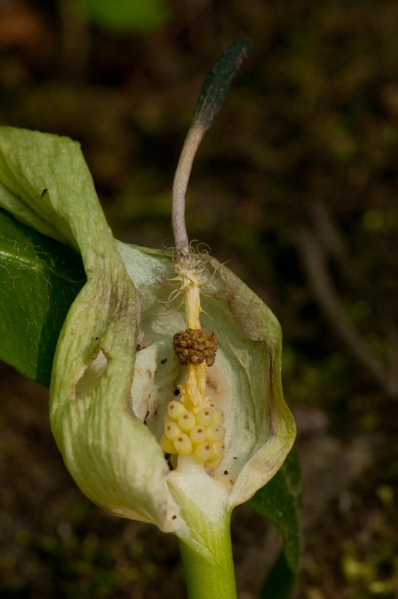 Lords and Ladies (Arum maculatum). Anston Stones Wood.