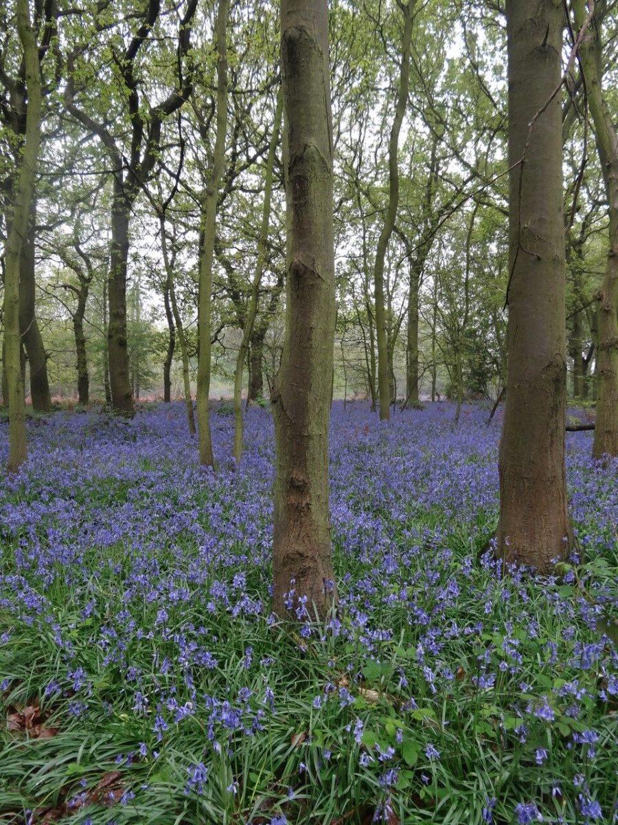 Bluebell (Hyacinthoides non-scripta), Shaw Wood, Armthorpe.