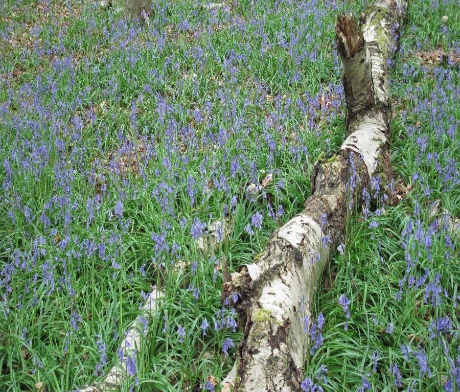 Bluebell (Hyacinthoides non-scripta), Melton Wood.