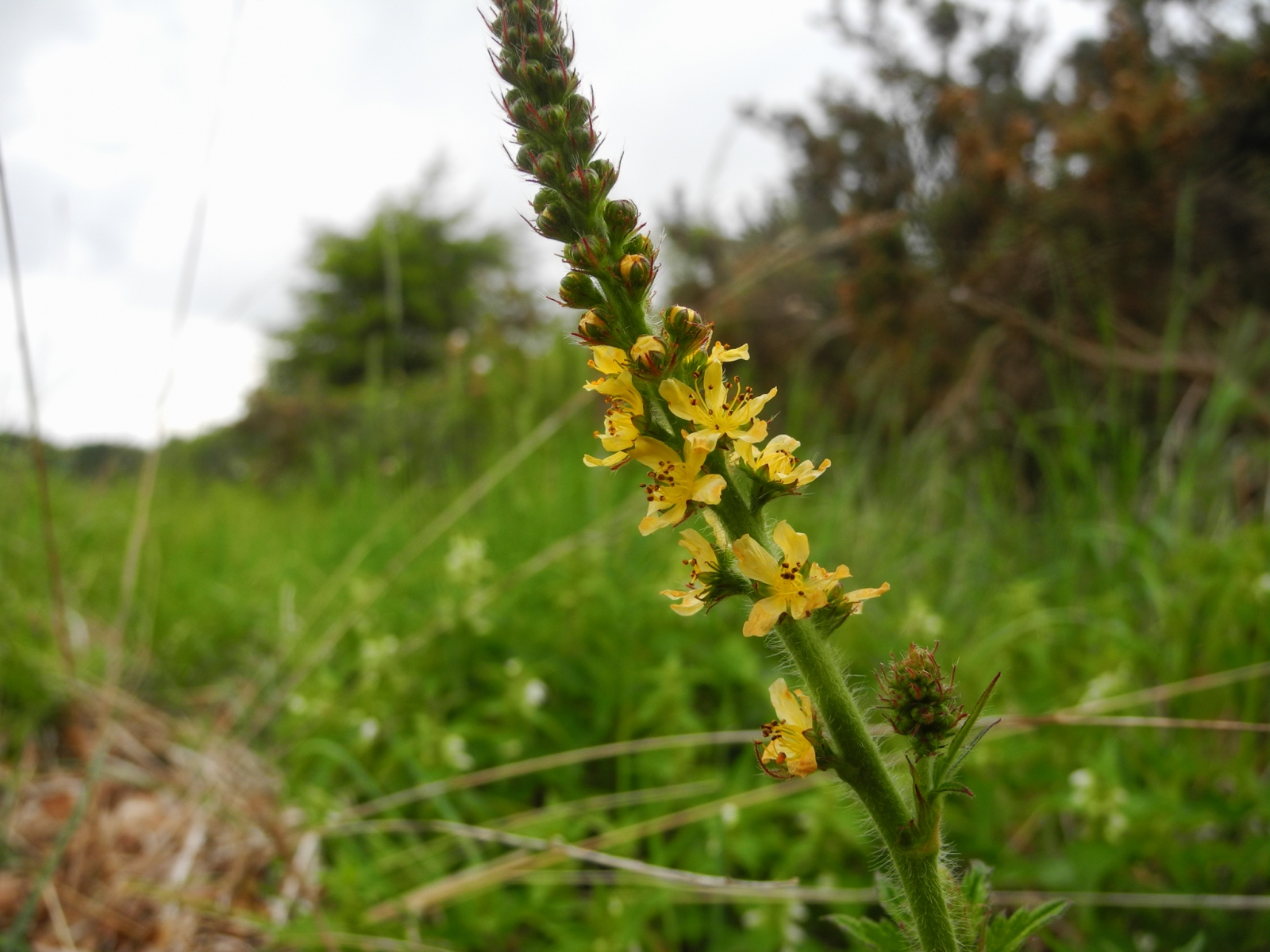 Agrimony (Agrimonia eupatoria), Lindrick Common.