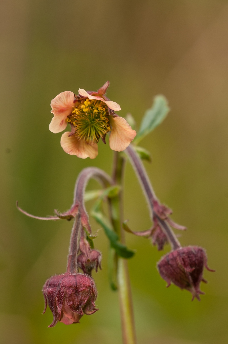 Water Avens (Geum rivale), Gamston Wood, Notts.