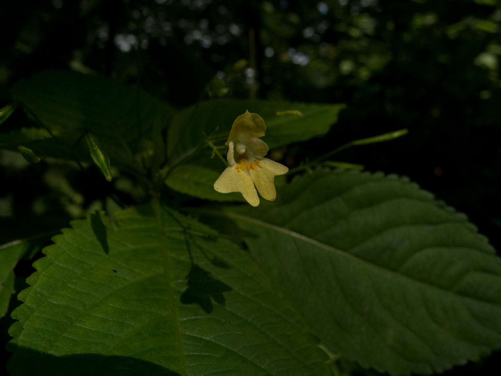 Small Balsam (Impatiens parviflora), NT Clumber Park, Notts.
