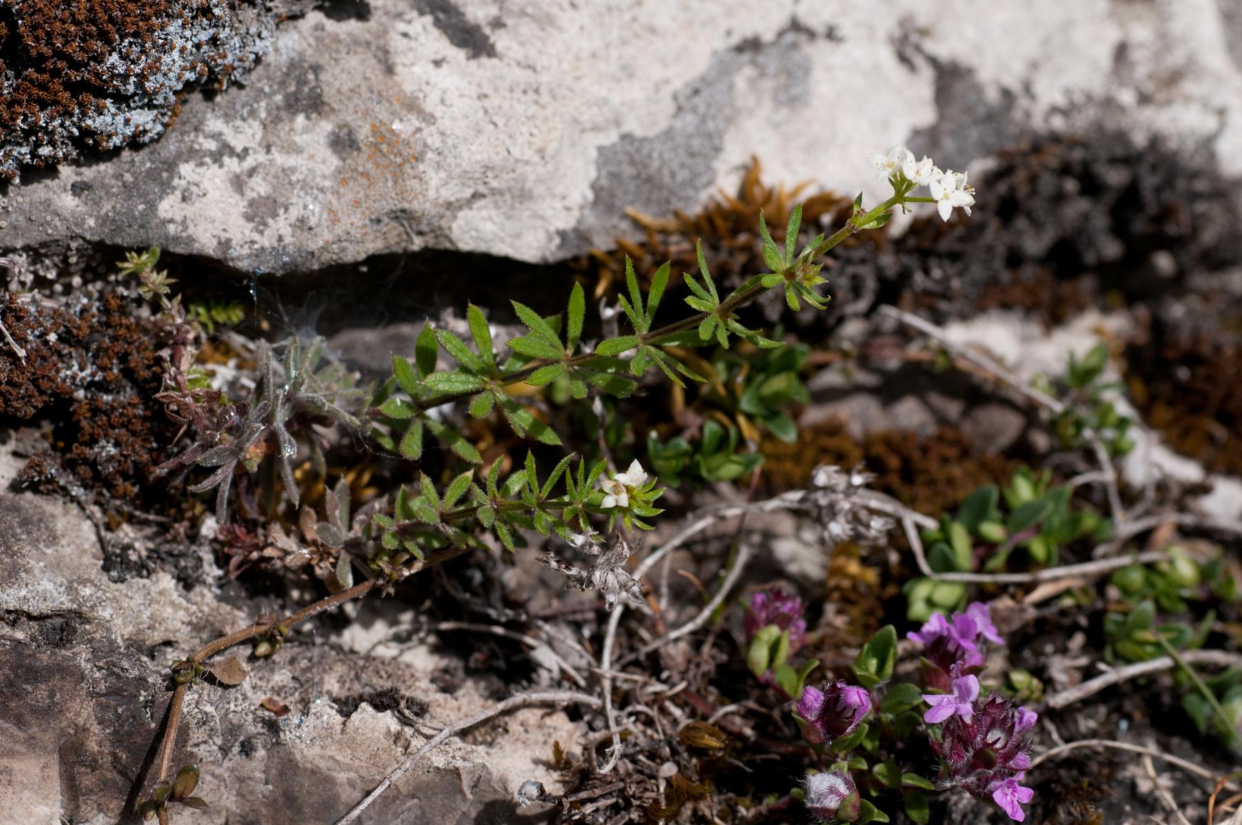 Heath Bedstraw (Galium saxatile), Tansley Dale, Derbyshire.