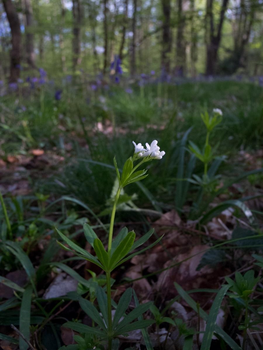 Woodruff (Galium odoratum), Whitwell Wood, Derbyshire.