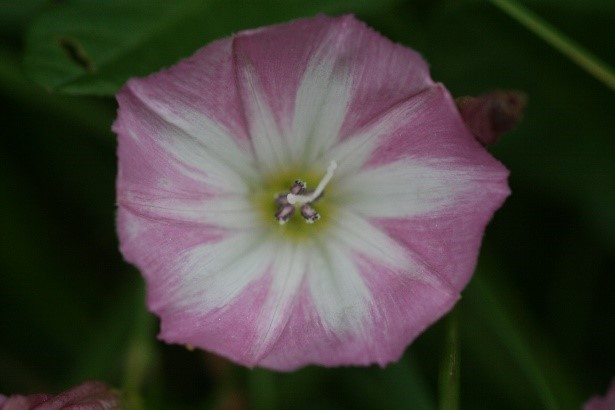 Field Bindweed (Convolvus arvensis), Hills and Holes nr Marr.