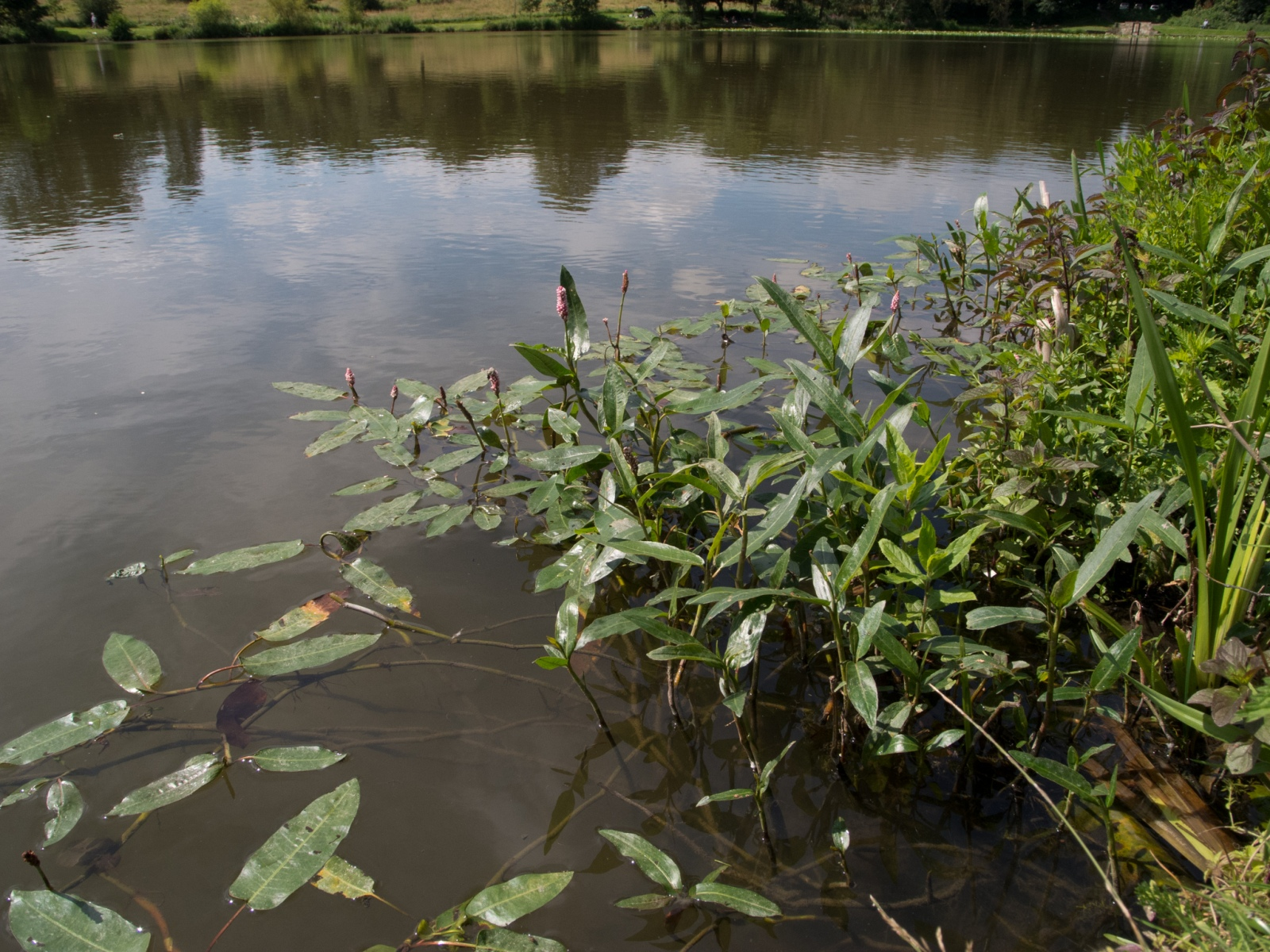 Amphibious Bistort (Persicaria amphibia), NT Hardwick, Derbyshire.