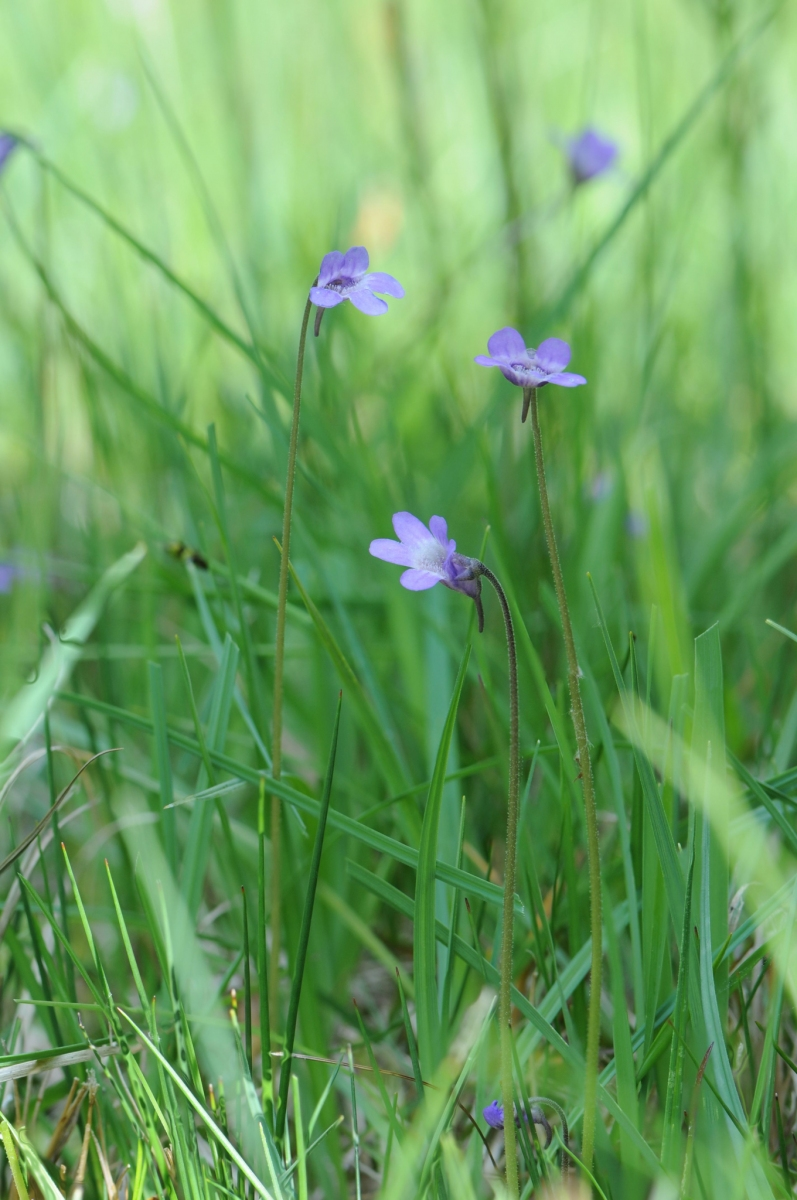 Common Butterwort (Pinguicula vulgaris), Ginny Springs, Whitwell Wood, Derbyshire.