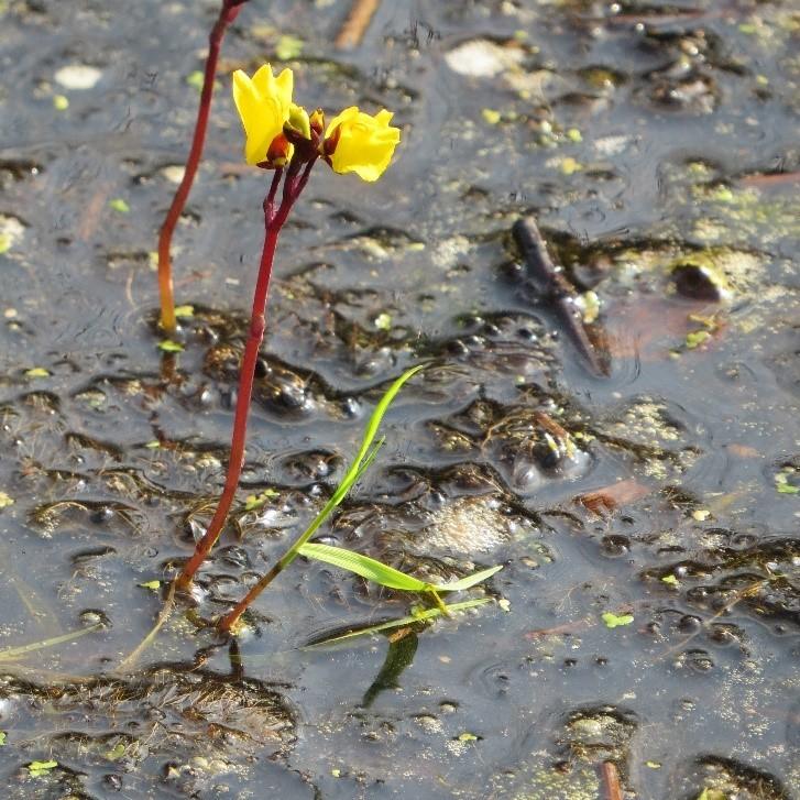 Greater Bladderwort (Utricularia vulgaris), Thorne Moors.