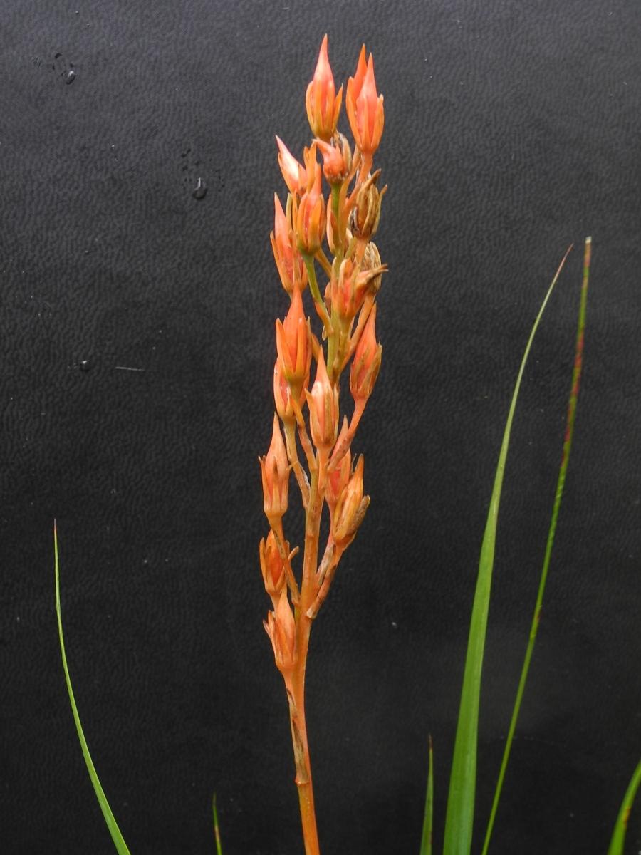 Bog Asphodel (Narthecium ossifragum), Dovestone Reservoir, Saddleworth Moor.