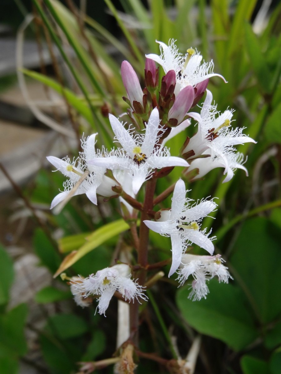 Bogbean (Menyanthes trifoliata), Old Moor.