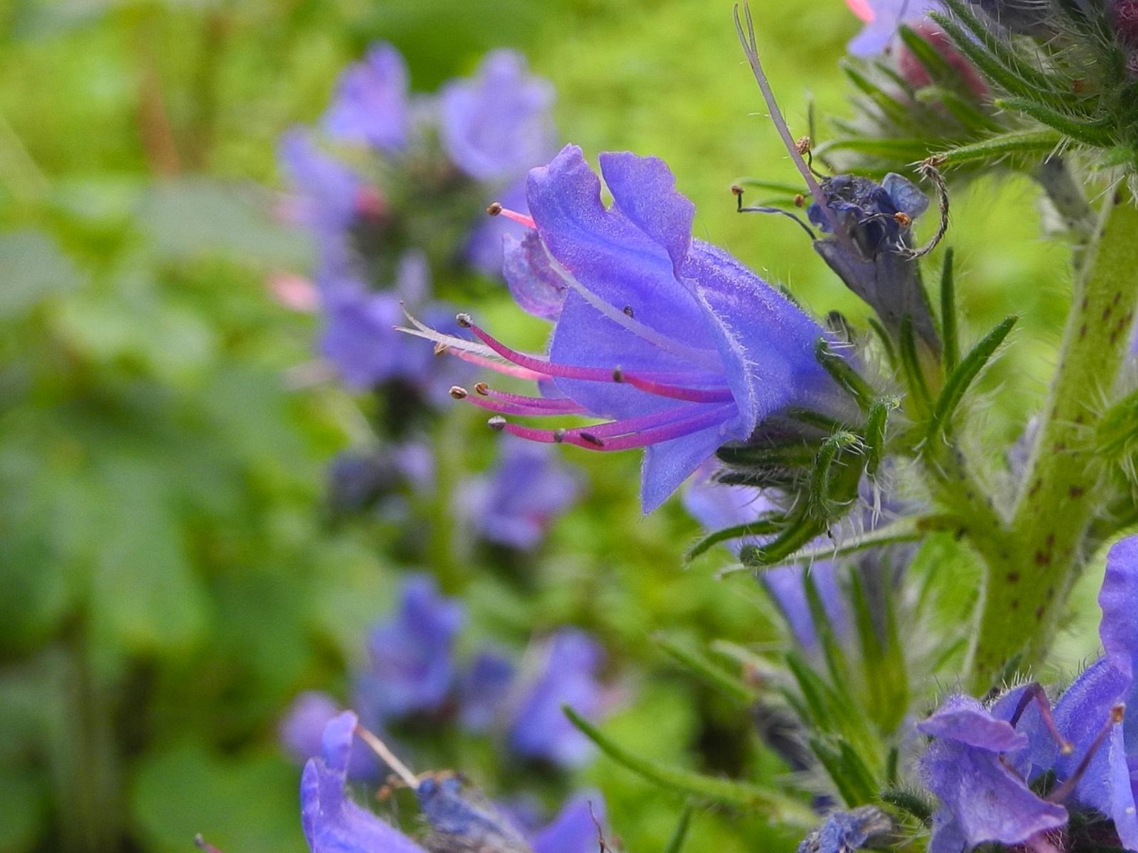 Vipers Bugloss (Echium vulgare), Barrow Hills NY, Notts.