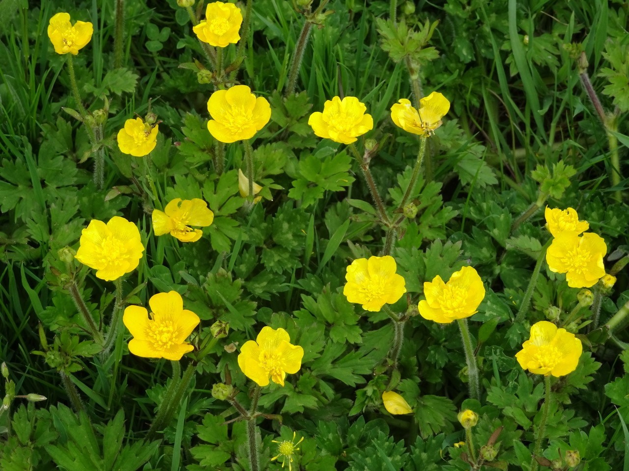 Creeping buttercup (Ranunculus repens), Upton Country Park.