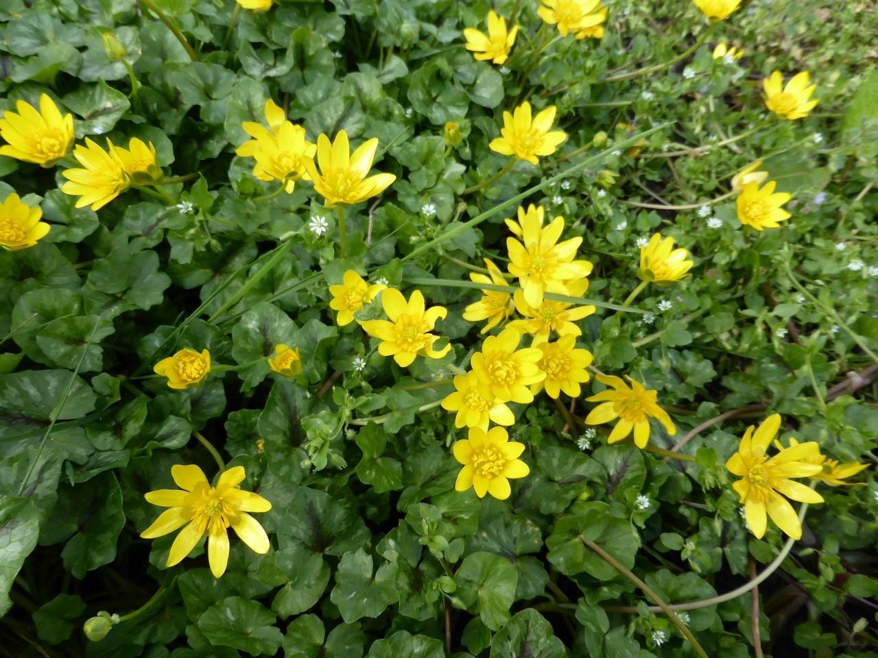 Lesser Celandine (Ranunculus ficaria), Wadworth Wood.