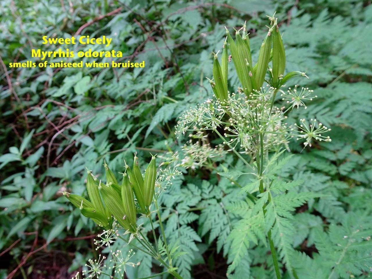 Sweet Cicely (Myrrhis odorata), Oxclose Wood, North Yorkshire.