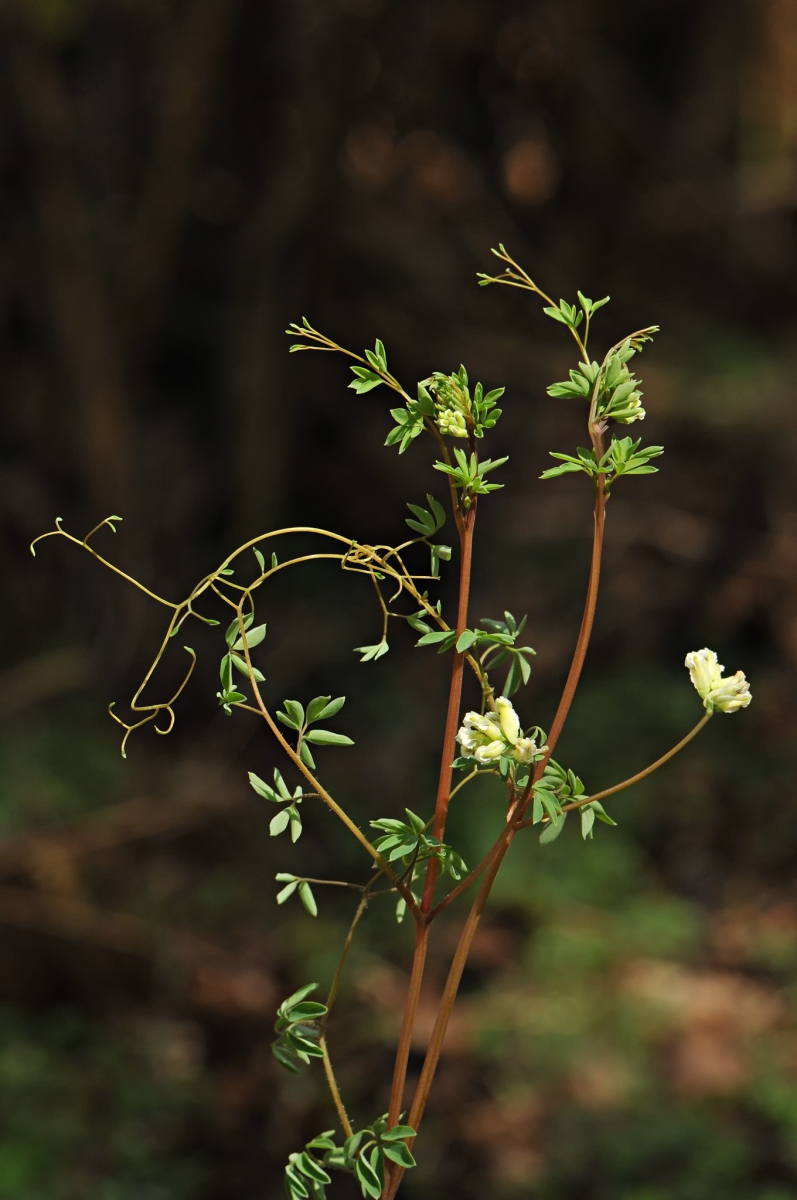 Climbing Corydalis (Ceratocapnos claviculata), Hatfield