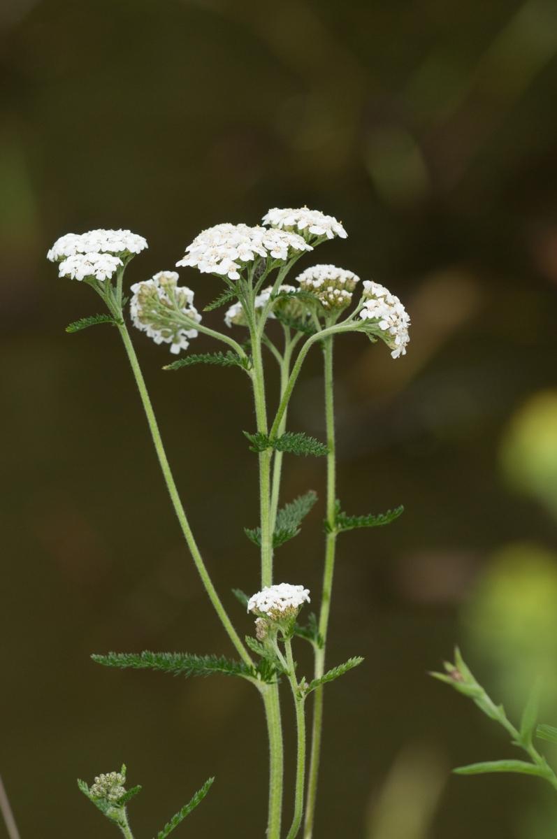 Yarrow (Achillea millefolium), Clumber Park, Notts.
