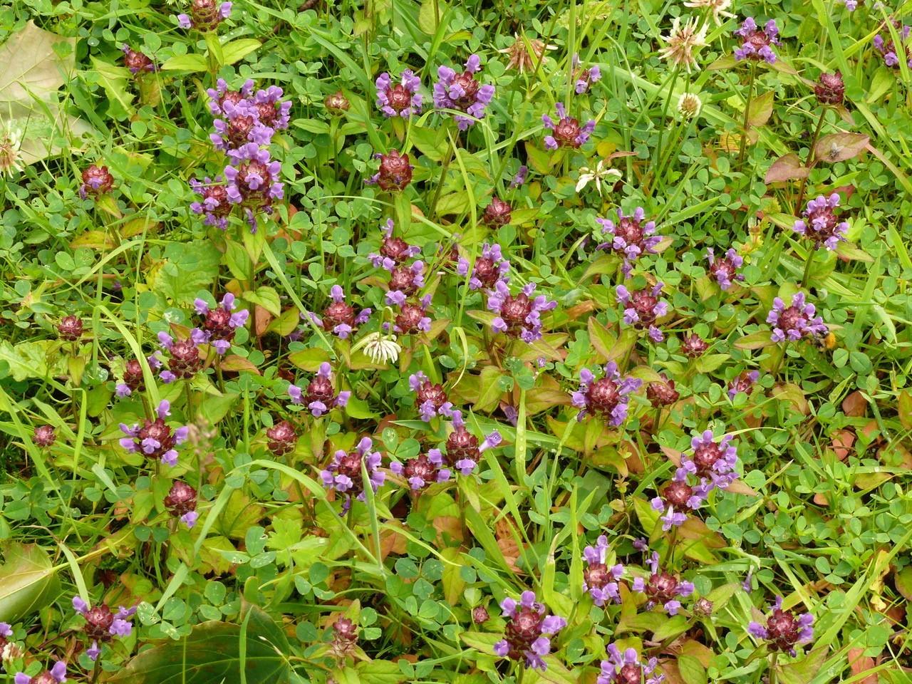Self-heal (Prunella vulgaris), Garden, Intake, Doncaster.