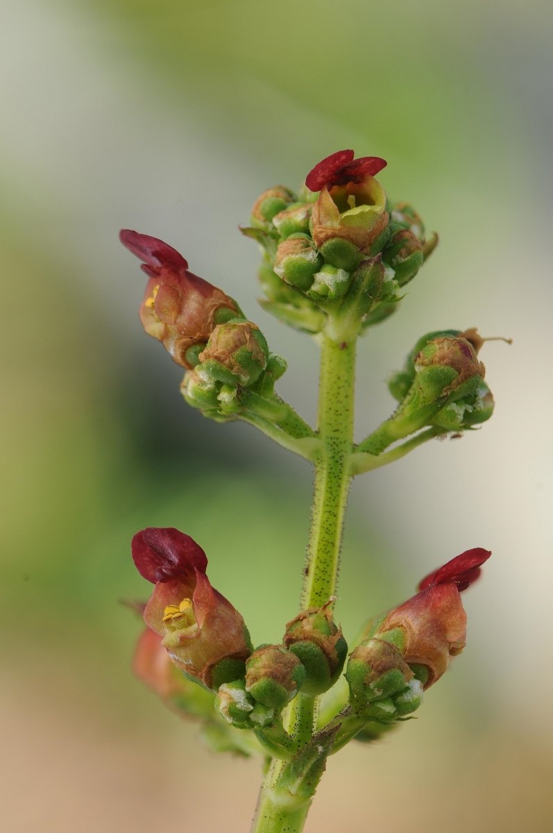 Water Figwort (Scrophularia auriculata), Norwood nr Harthill