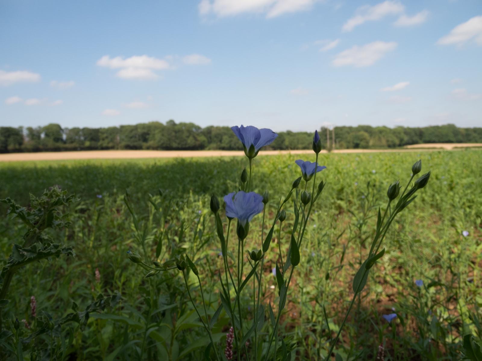 Cultivated Flax (Linum usitatissium), nr Letwell, Yorkshire