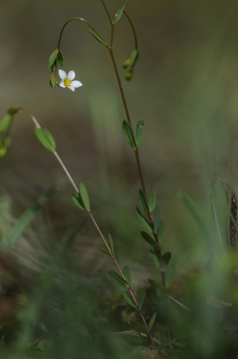 Fairy Flax (Linum catherticum), The Glebe, Wendsleydale.