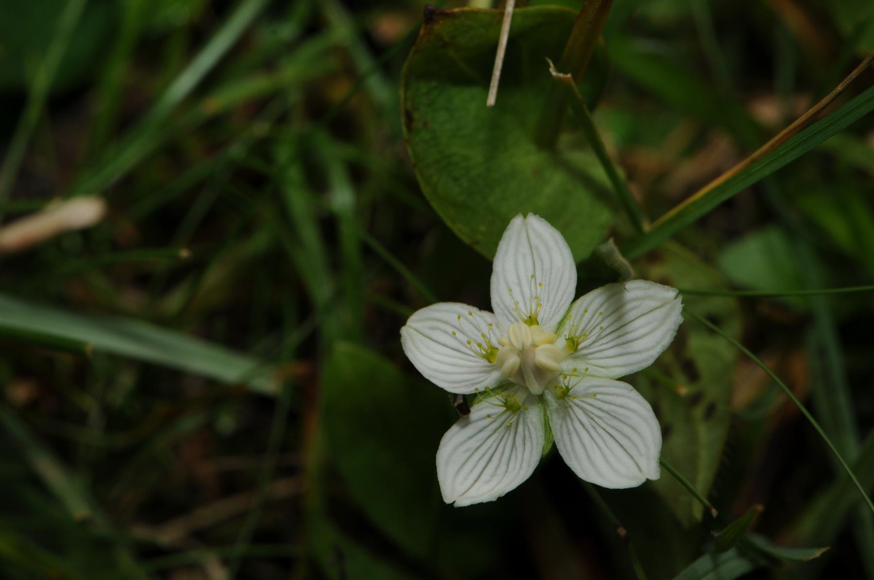 Grass-of-Parnassus (Parnassia palustris), Cressbrookdale, Derbyshire.