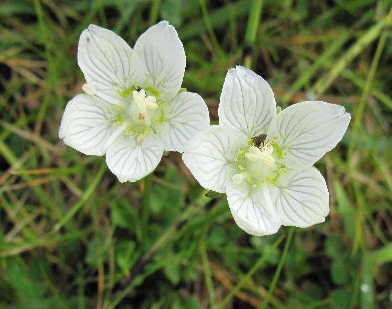 Grass-of-Parnassus (Parnassia palustris), Holy Island also at Maltby Low Common YWT.