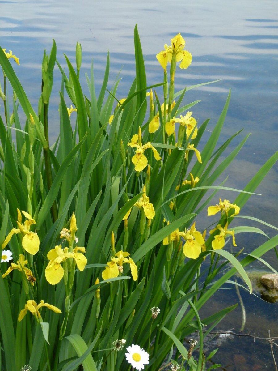 Yellow Iris (Iris pseudacorus), Lakeside, Doncaster.