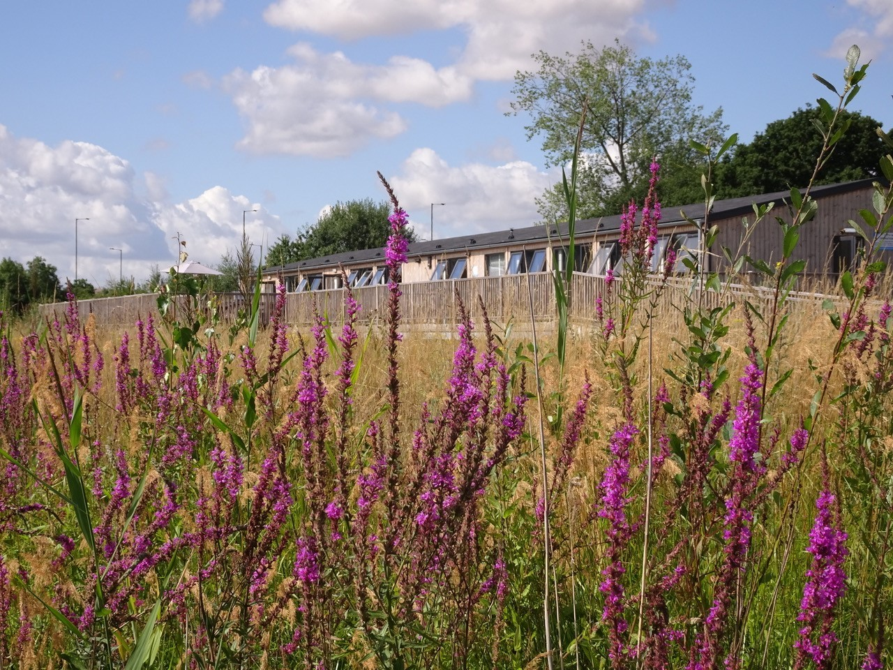 Purple Loosestrife (Lythrum salicaria), Potteric Carr, Doncaster