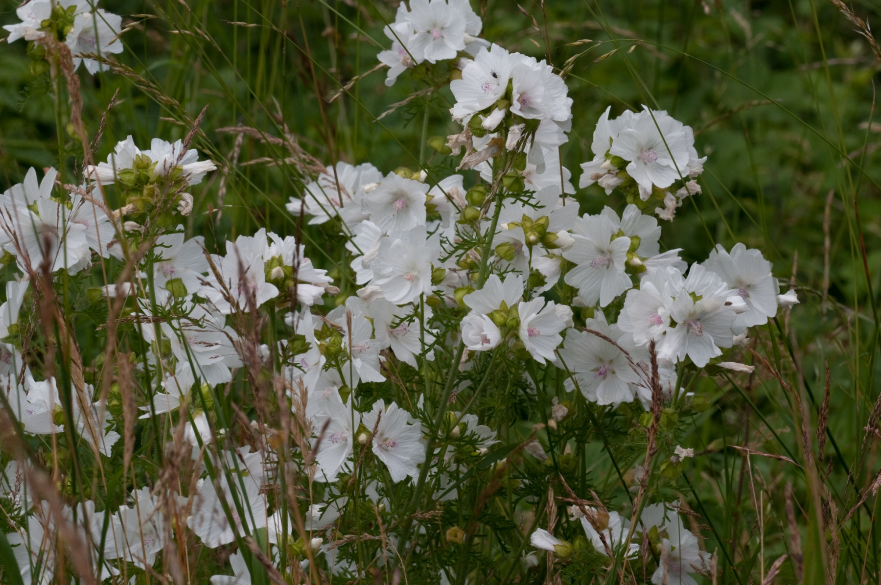 Musk Mallow (Malva moschata), Lound, Notts.