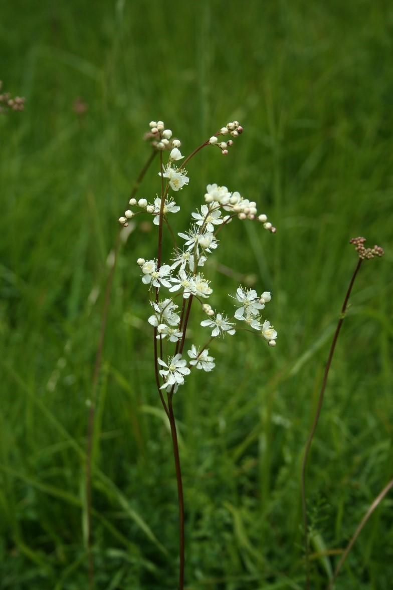 Dropwort (Filipendula vulgaris),