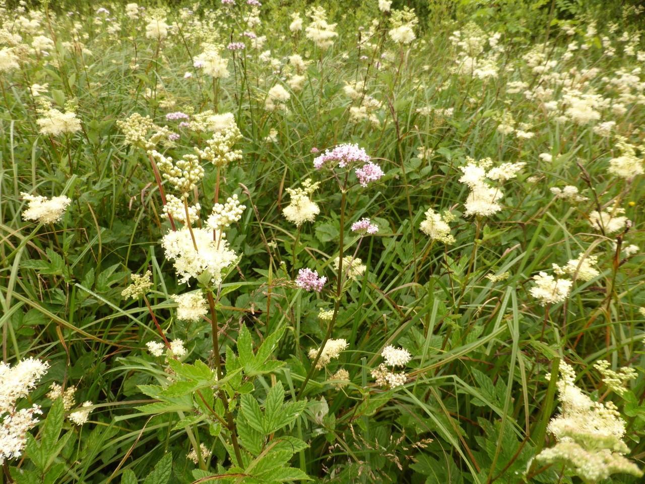 Meadowsweet (Filipendula ulmaria), Potteric Carr, Doncaster
