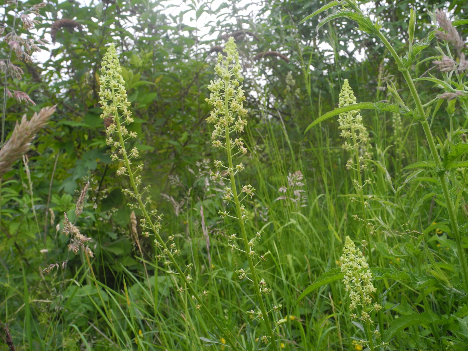 Wild Mignonette (Reseda lutea), Barnack Hills & Holes, Cambridgeshire.