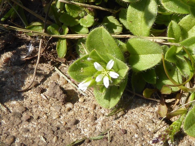 Sticky Mouse-ear (Cerastium glomeratum), Grove Park, Doncaster