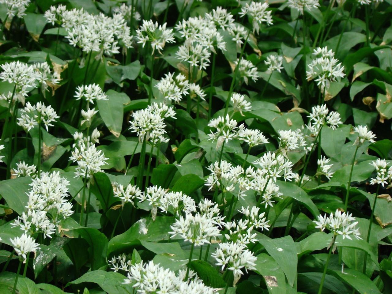 Ramsons (Allium ursinum), Dunsville Quarry Wood.