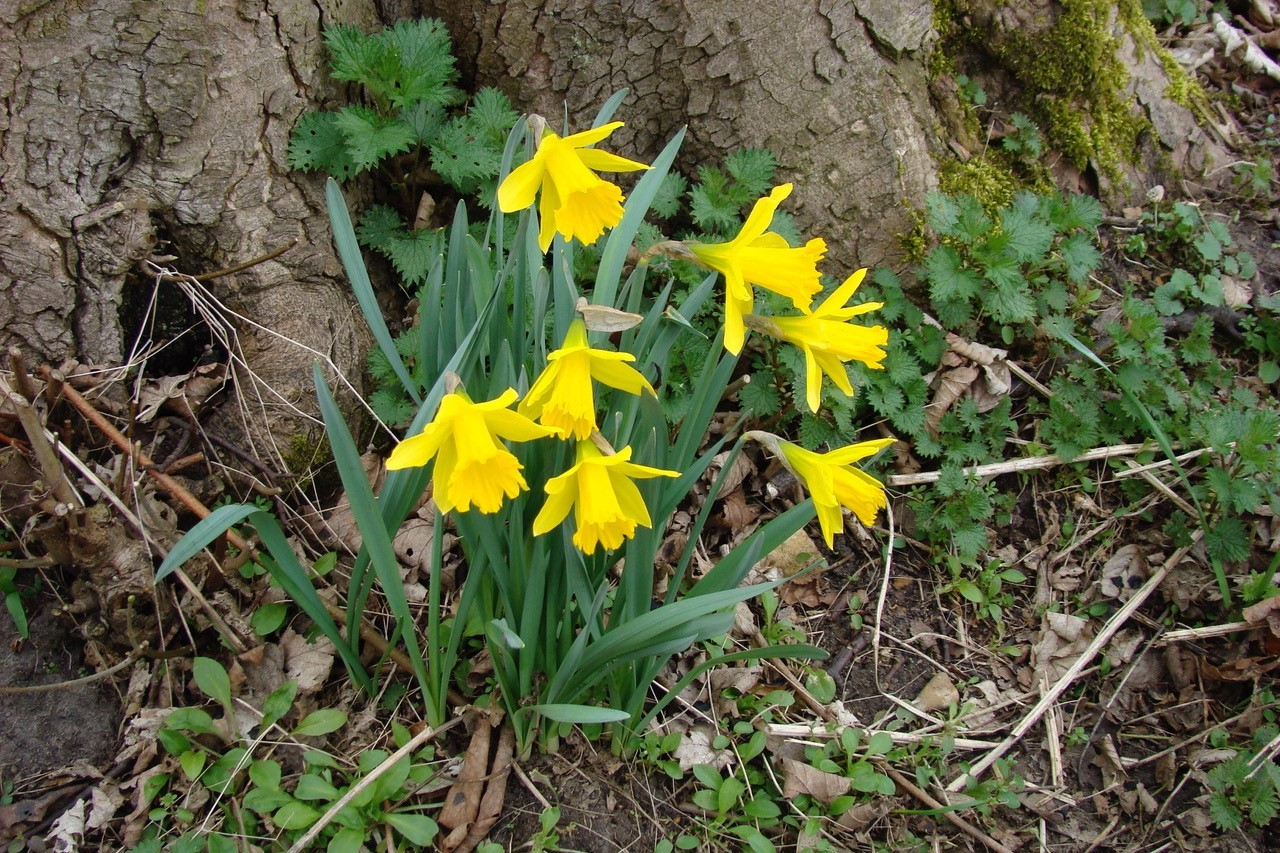 Wild Daffodil (Narcissus pseudonarcissus), YWT Potteric Carr, Doncaster.