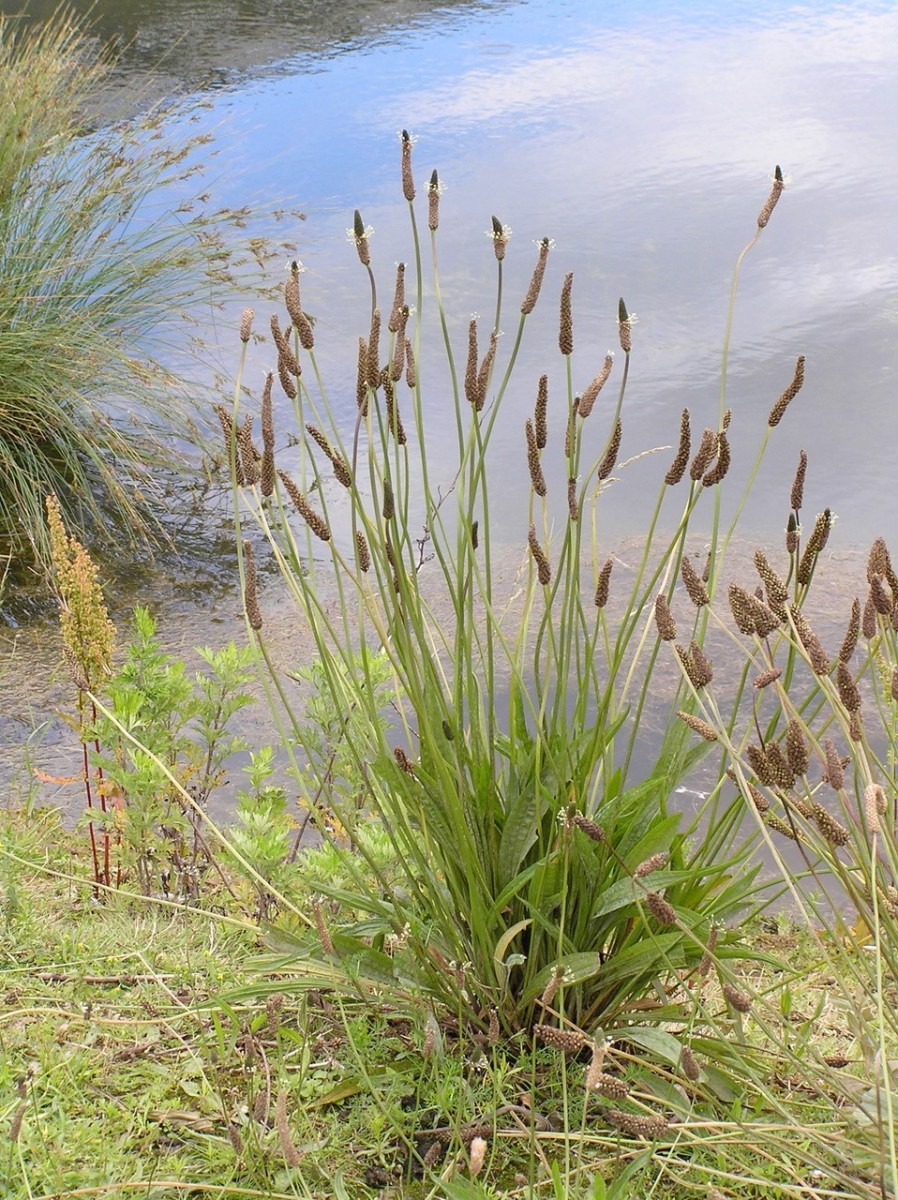 Ribwort Plantain (Plantago lanceolata), Water's Edge, Humberside.