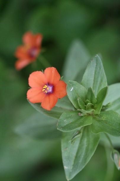 Scarlet Pimpernel (Anagallis arvensis), Skellow Garden.
