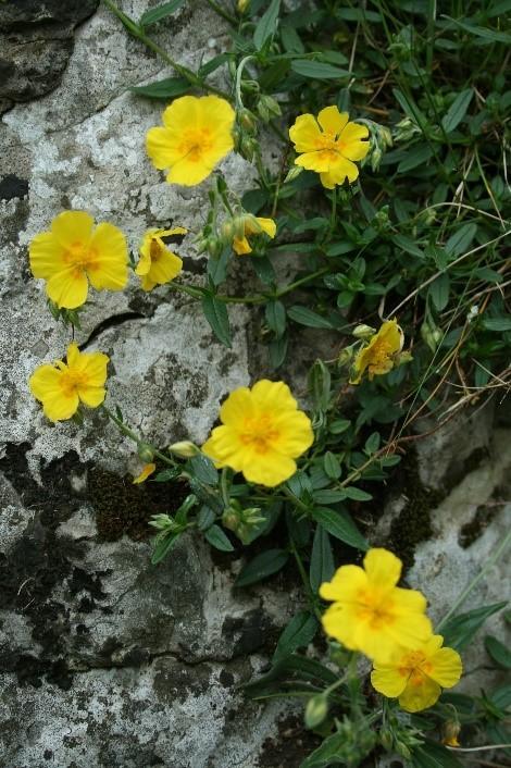 Rock-rose (Helianthemum nummularium), Brockadale.