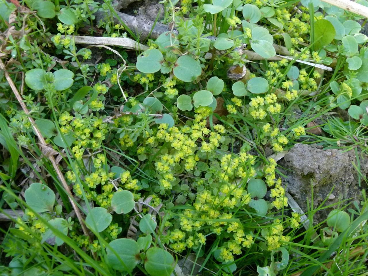 Opposite-leaved Golden Saxifrage (Chrysoplenium alternifolium), Hollicars