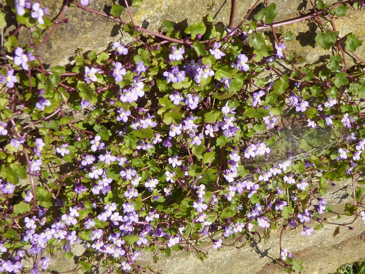 Ivy-leaved Toadflax (Cymbalaria muralis), Grove Park, Doncaster