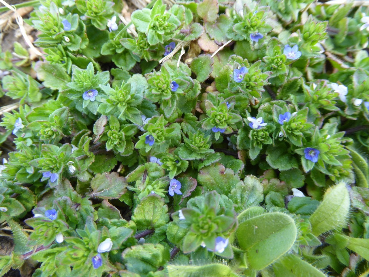 Wall Speedwell (Veronica arvensis), Grove Park, Doncaster