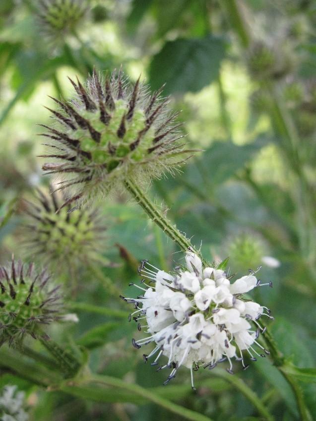 Small Teasel (Dipsacus pilosus), Brockadale.