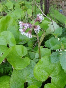 Winter Heliotrope (Petasites fragrans), Trans Pennine Trail, Lower Sprotbrough.