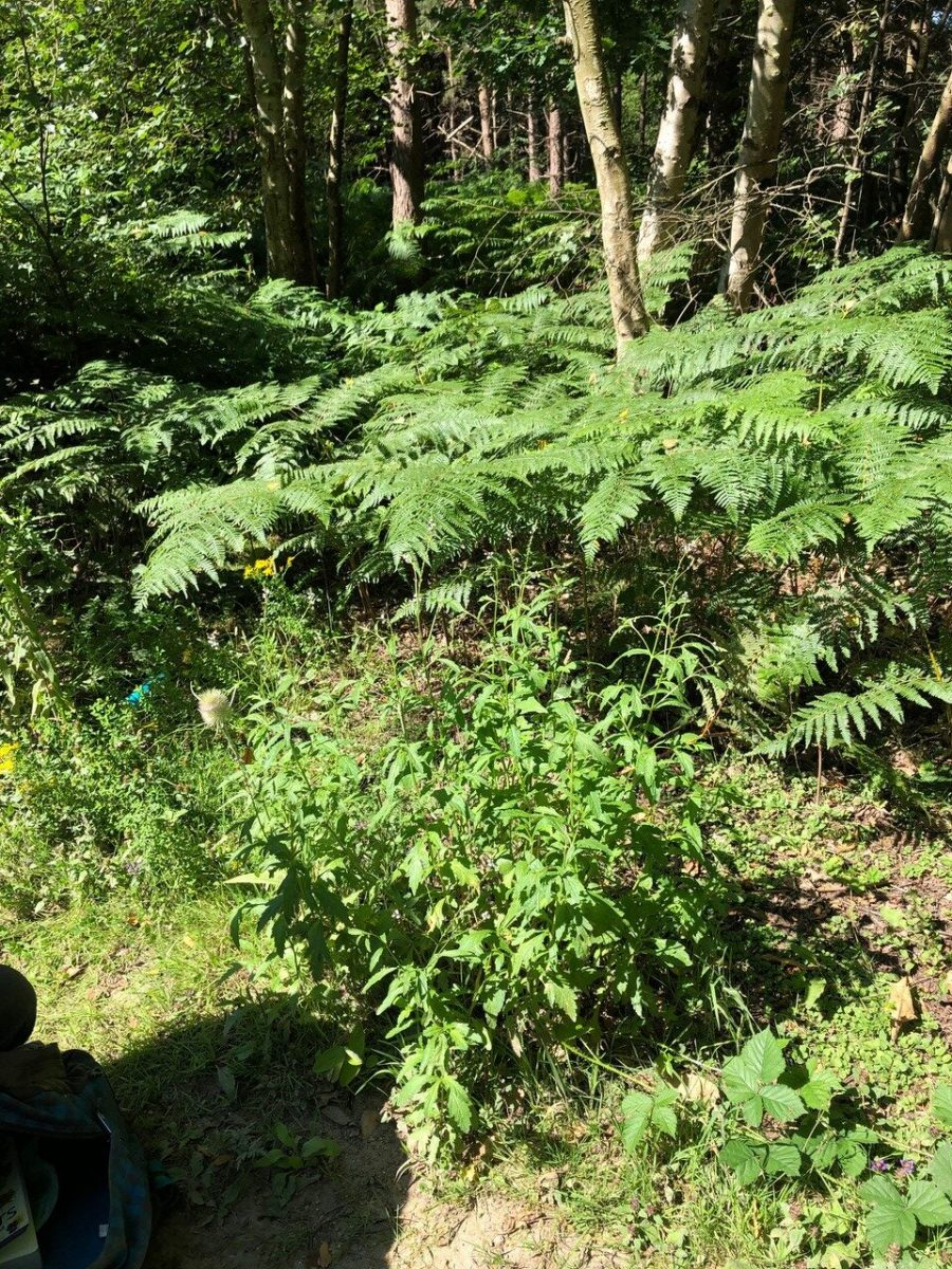 Vervain (Verbena officinalis), Hurst Gravel Pits