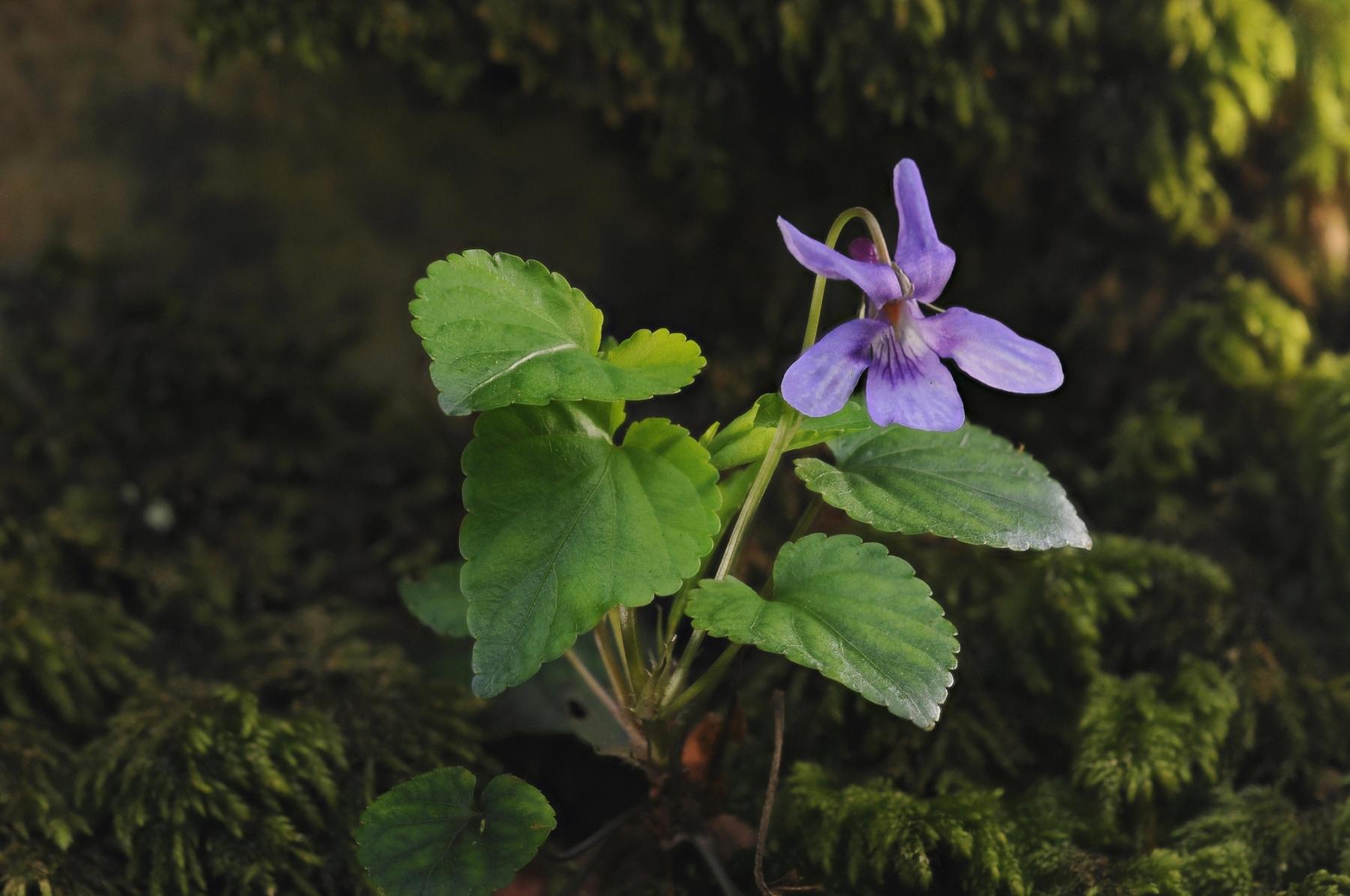 Early Dog Violet (Viola reichenbachiana), Laughton Wood.