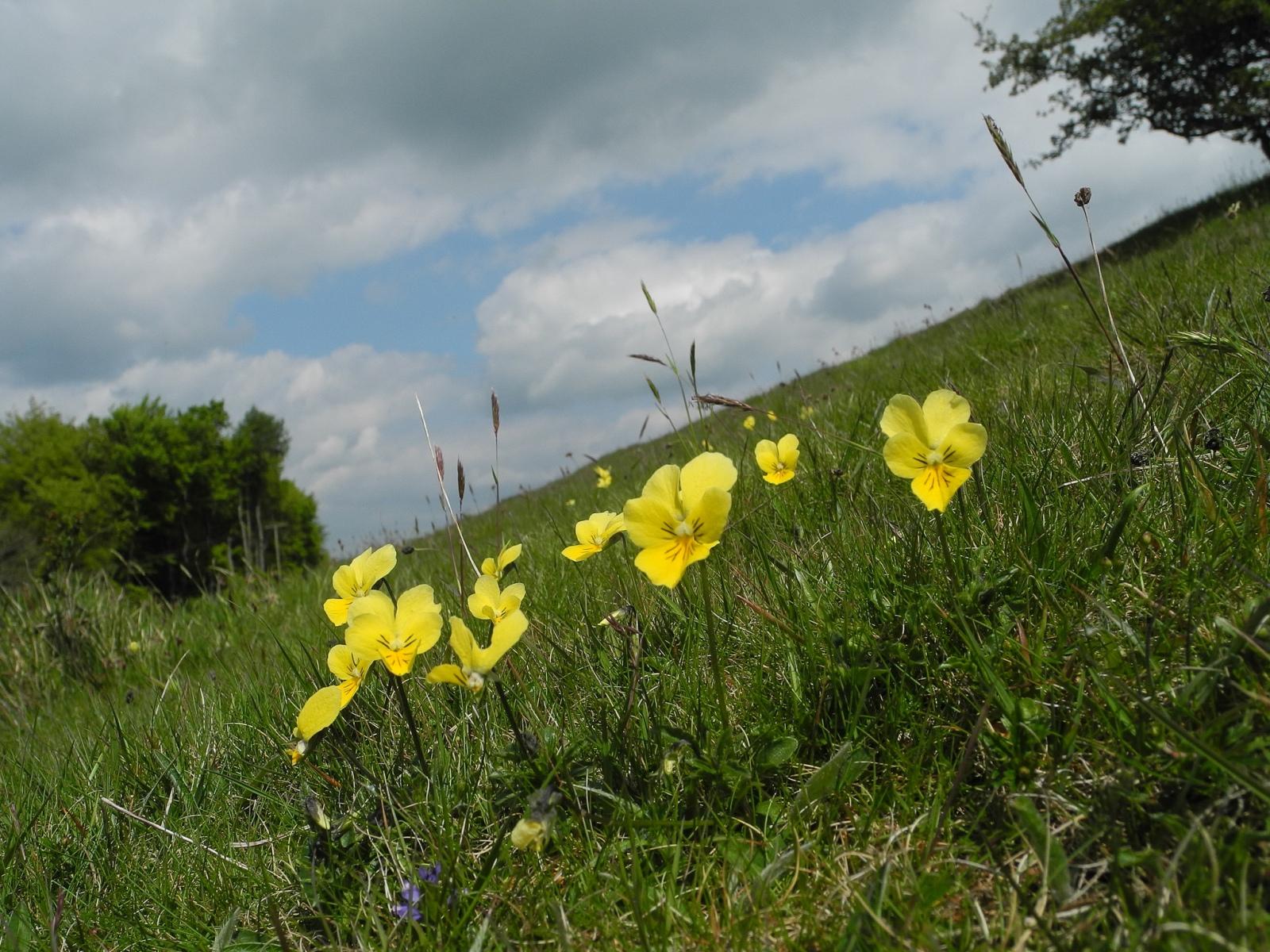Mountain Pansy (Viola lutea), Deep Dale, Derbyshire.