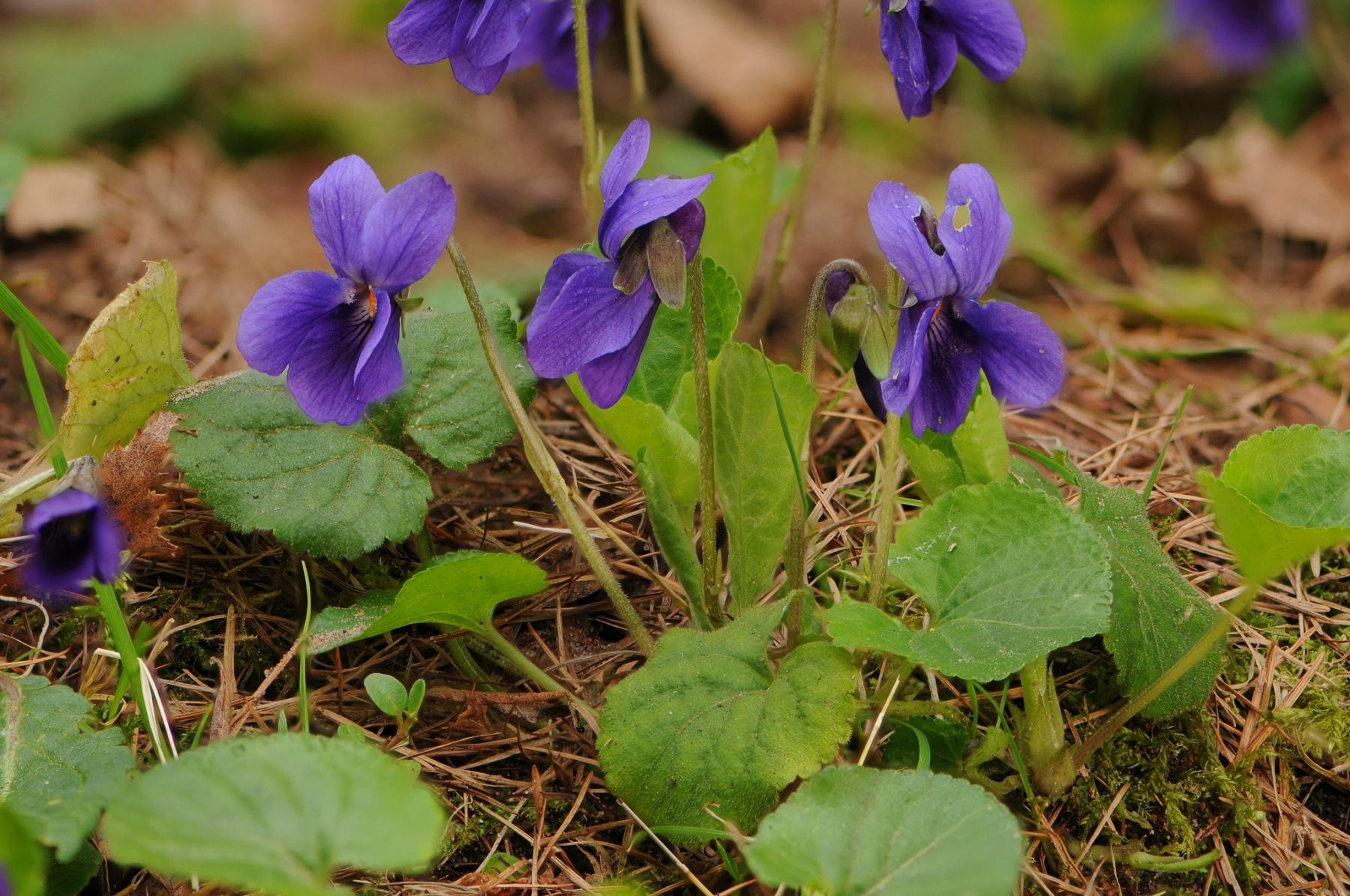 Sweet Violet (Viola odorata), Lound, Notts