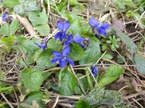 Sweet Violet (Viola odorata),  Cusworth Hall & Park.